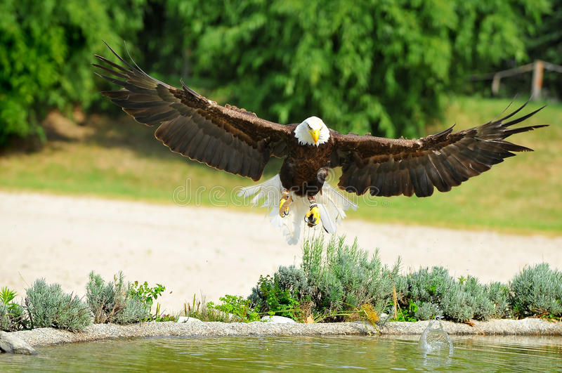 Download Bald Eagle stock photo. Image of outstretched, dive, bird - 21078604