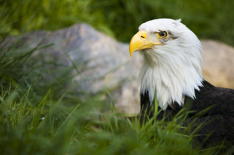 Download Bald Eagle stock photo. Image of front, intent, large - 21116306