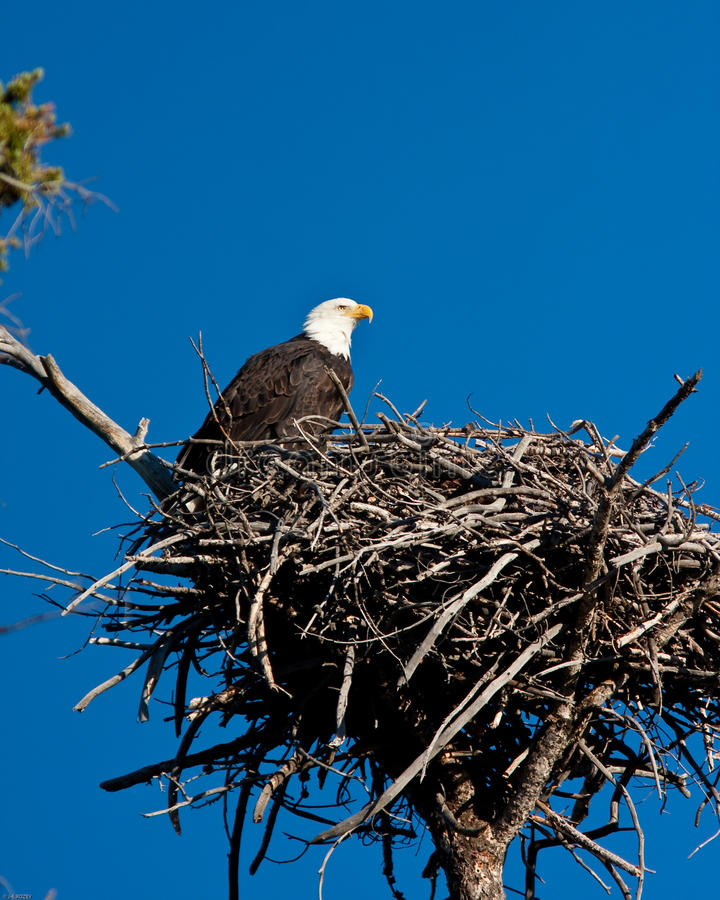 Bald Eagle. Perch on is nest royalty free stock photography