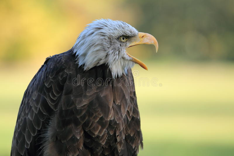 Download Bald eagle stock photo. Image of bill, white, bird, nature - 21681532