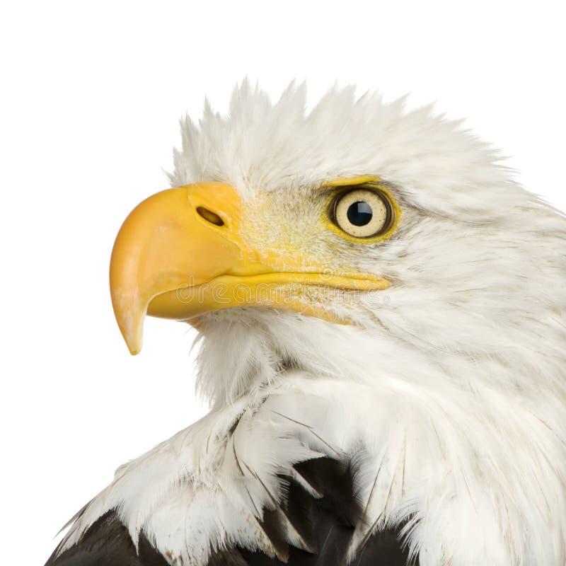 Free Bald Eagle (22 Years) - Haliaeetus Leucocephalus Stock Image - 3803241