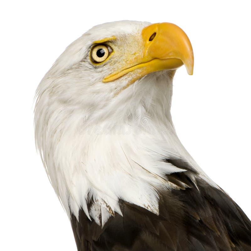 Free Bald Eagle (22 Years) - Haliaeetus Leucocephalus Stock Image - 3803311