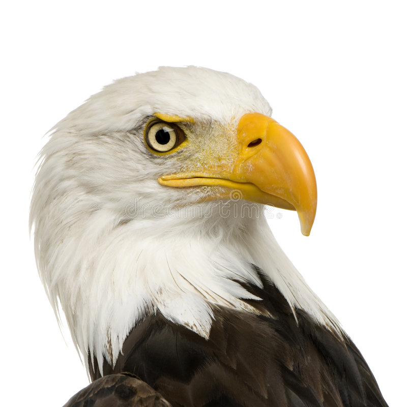 Download Bald Eagle (22 Years) - Haliaeetus Leucocephalus Stock Image - Image: 3803381