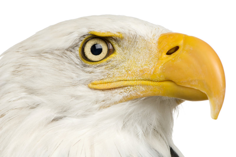Download Bald Eagle (22 Years) - Haliaeetus Leucocephalus Stock Photo - Image: 3803400