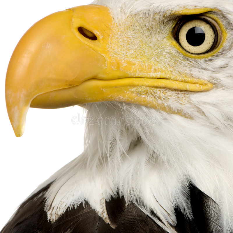 Free Bald Eagle (22 Years) - Haliaeetus Leucocephalus Stock Images - 3803414