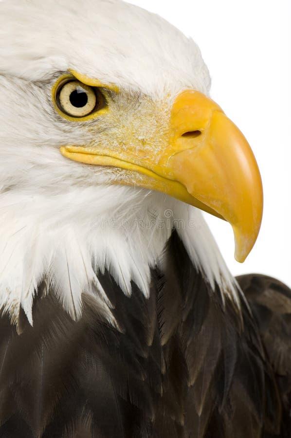Free Bald Eagle (22 Years) - Haliaeetus Leucocephalus Stock Images - 3803494