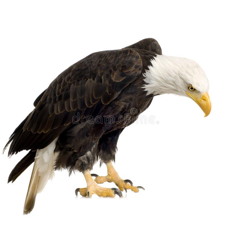 Download Bald Eagle (22 Years) - Haliaeetus Leucocephalus Stock Photo - Image: 3803554