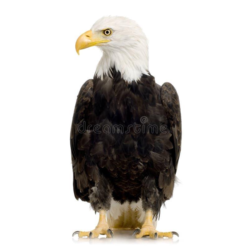 Free Bald Eagle (22 Years) - Haliaeetus Leucocephalus Royalty Free Stock Photography - 3803607
