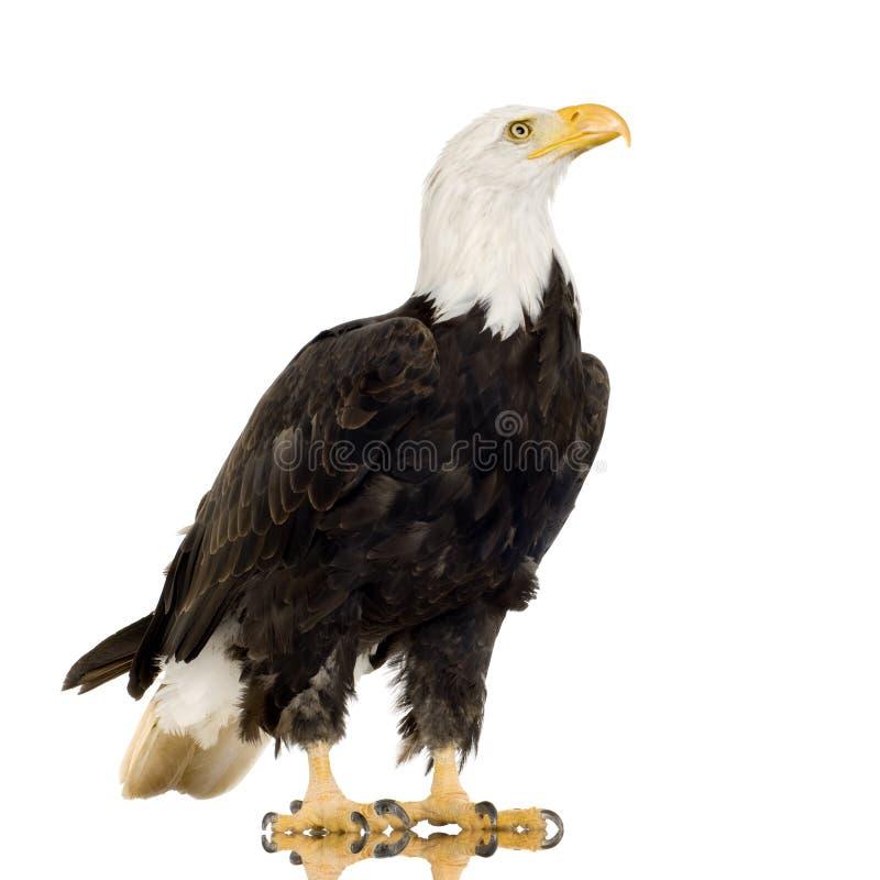 Free Bald Eagle (22 Years) - Haliaeetus Leucocephalus Royalty Free Stock Photo - 3803935