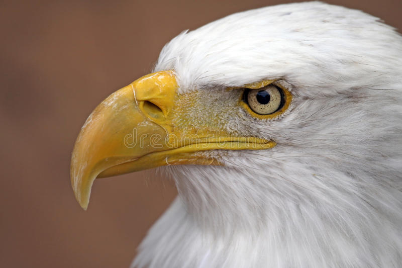 Download Bald Eagle stock image. Image of alert, attentive, bald - 22186897