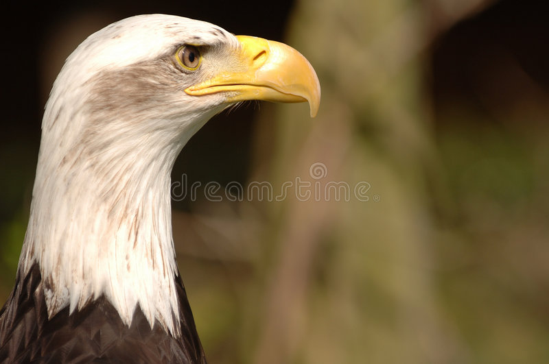 Bald Eagle. A close up of the head of a bald eagle royalty free stock photography