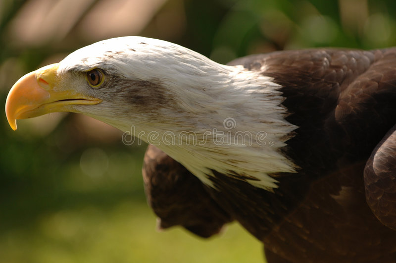 Bald Eagle. Portrait of a bald eagle in profile. Isolated by shallow depth of field royalty free stock photo