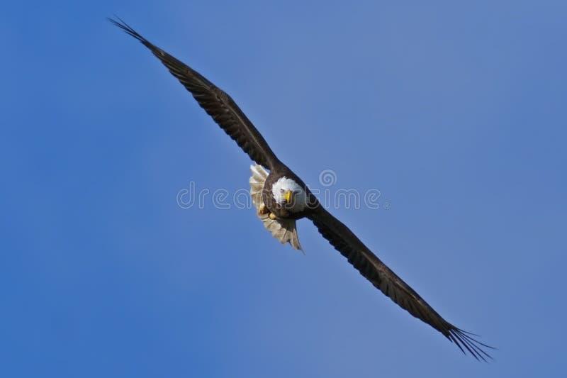 Download Bald Eagle stock photo. Image of predator, flight, freedom - 22686732