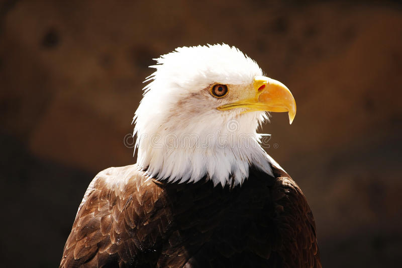 Download Bald Eagle stock photo. Image of avian, pride, eagle - 25090634