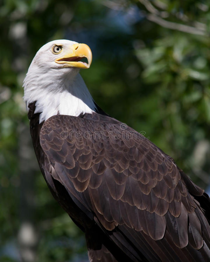 Download Bald Eagle Royalty Free Stock Images - Image: 25123669