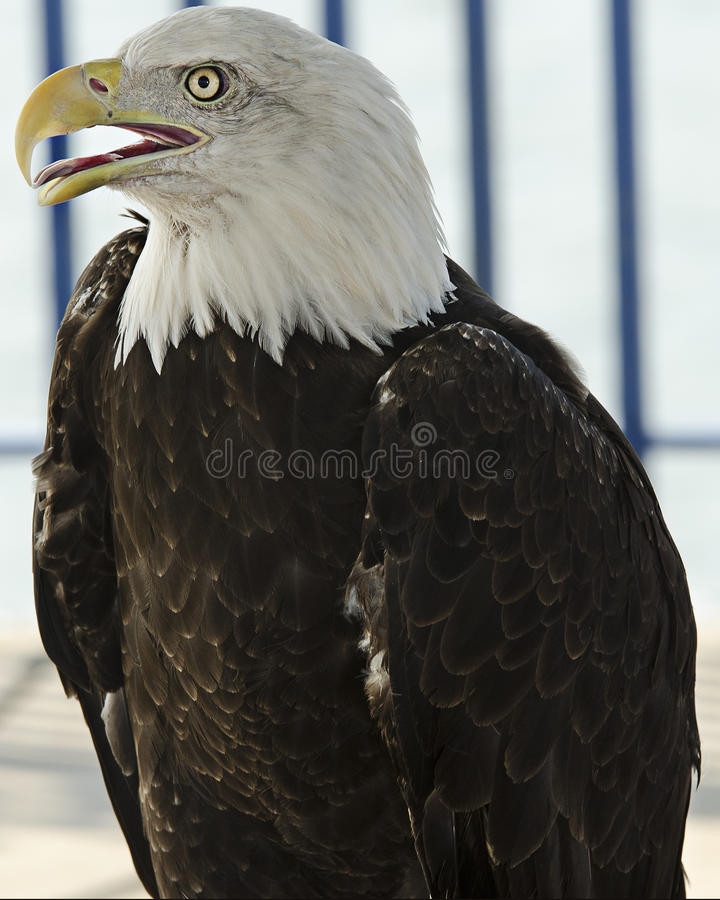 Download Bald Eagle stock photo. Image of bird, american, carnivore - 25637060