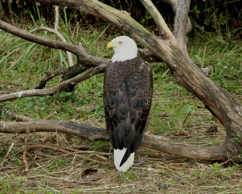 Download Bald Eagle stock image. Image of states, bald, united - 26082139