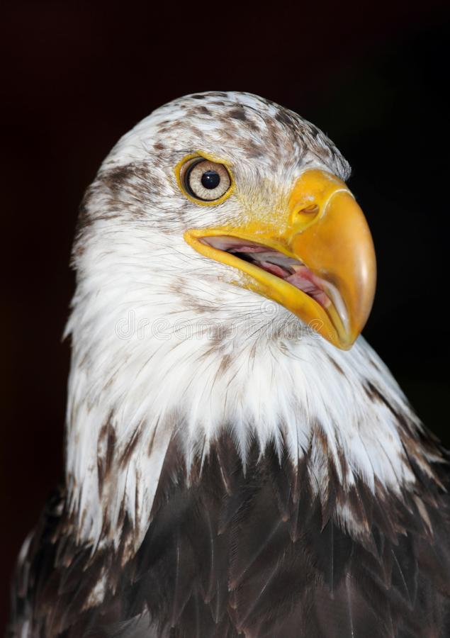 Download Bald Eagle Royalty Free Stock Images - Image: 26220359