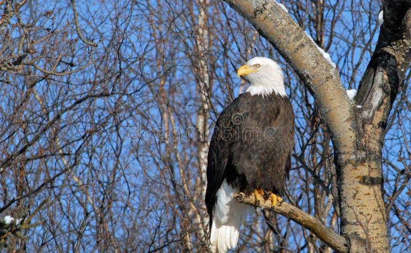 Download Bald Eagle stock image. Image of bald, nature, military - 2635851
