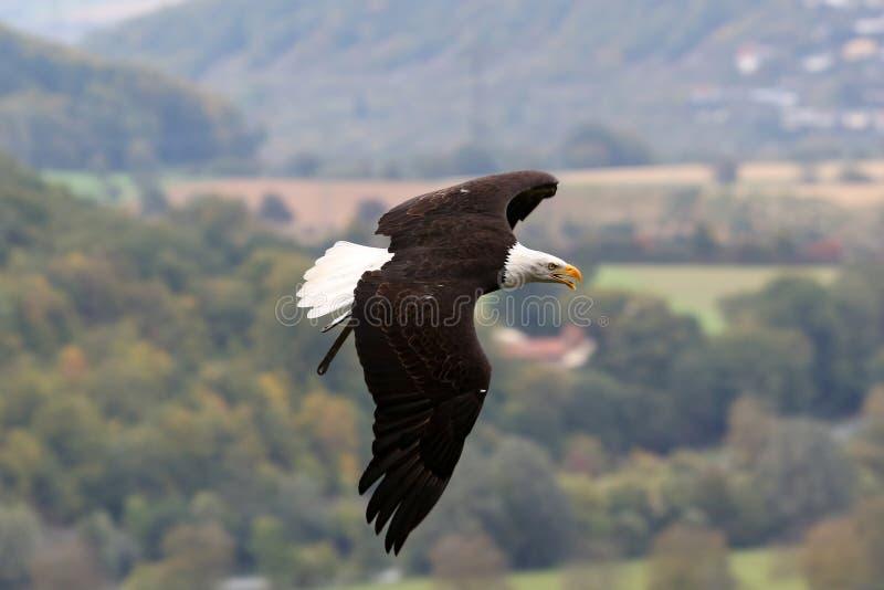 Download Bald Eagle stock image. Image of symbol, american, freedom - 27056399