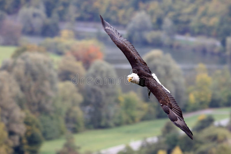 Download Bald Eagle stock photo. Image of raptor, portrait, feather - 27056450