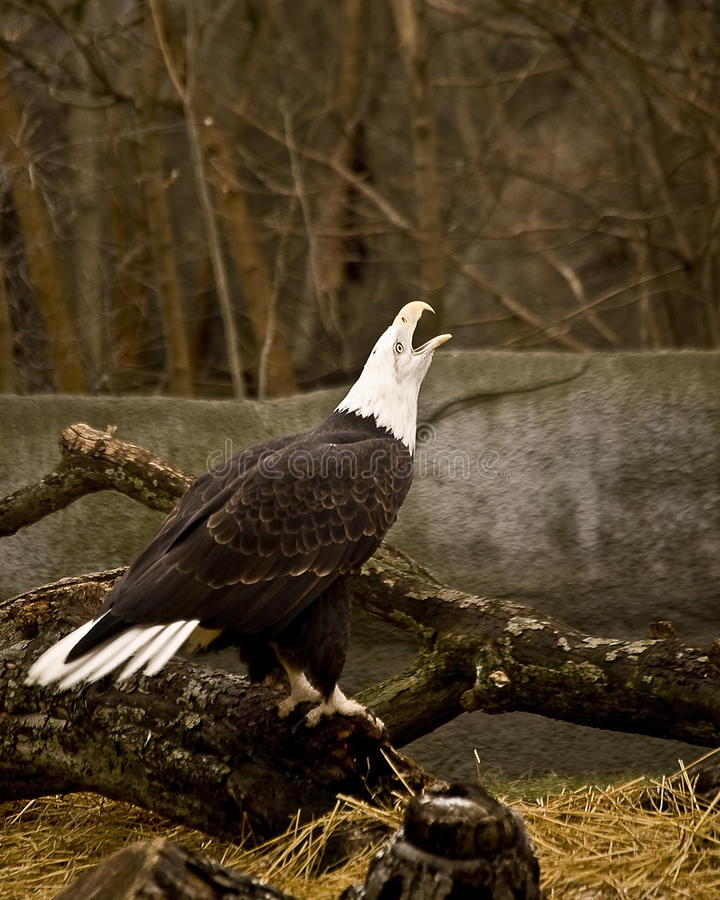 Download Bald Eagle stock photo. Image of close, looking, portrait - 27061130