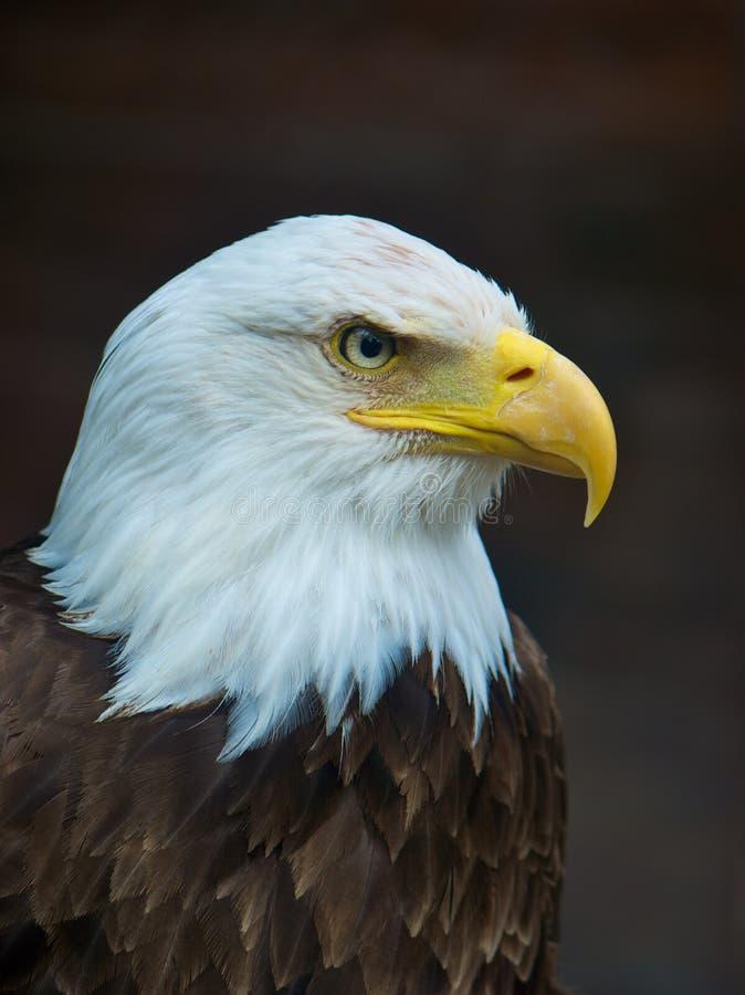Bald Eagle royalty free stock photography