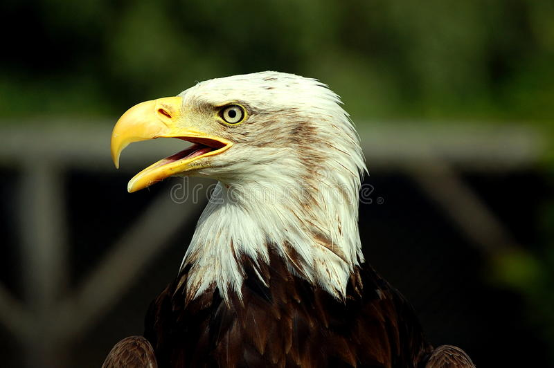 Download Bald Eagle stock photo. Image of bird, leucocephalus - 27565278