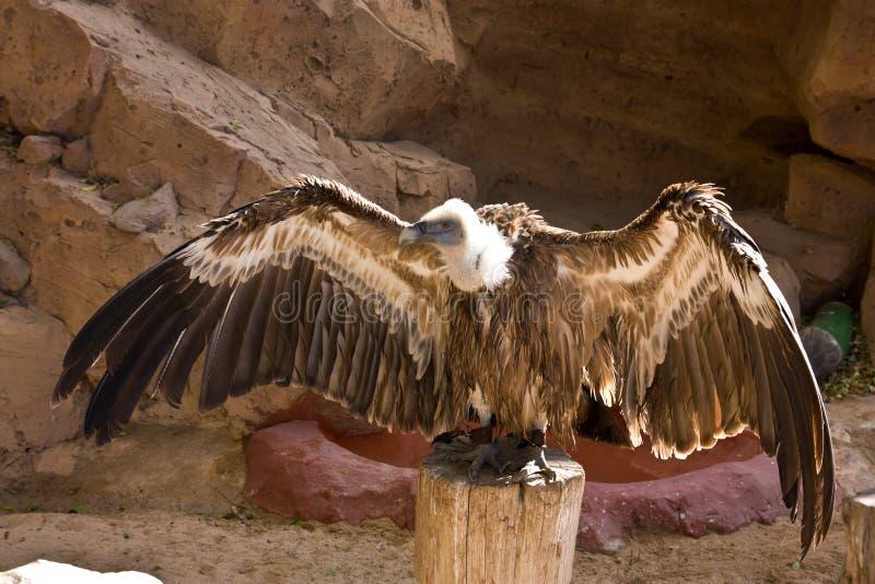 Download Bald Eagle stock photo. Image of kill, animal, brown - 27594114