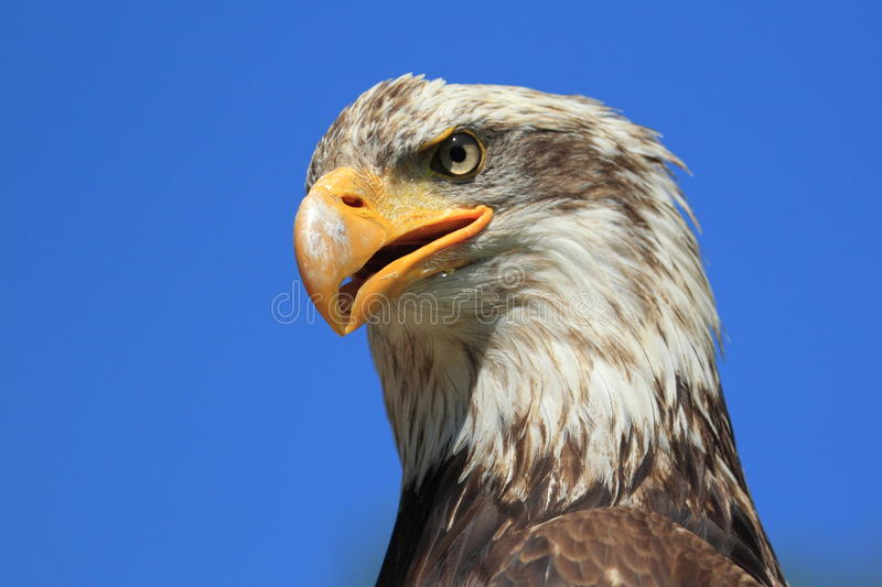 Download Bald Eagle Stock Photography - Image: 27720682