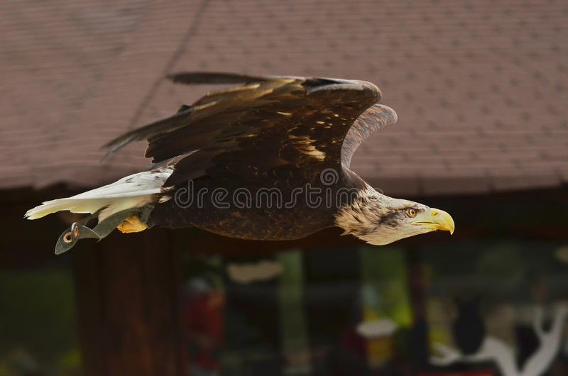 Download Bald Eagle stock photo. Image of gliding, nature, feathers - 27726960