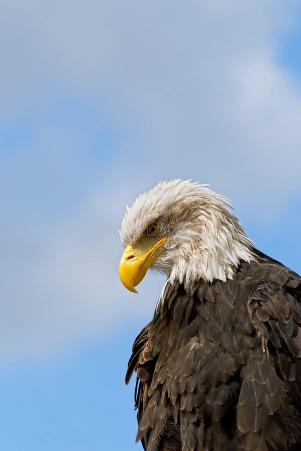 Bald Eagle. The Bald Eagle (Haliaeetus leucocephalus), a bird of prey found in North America stock images