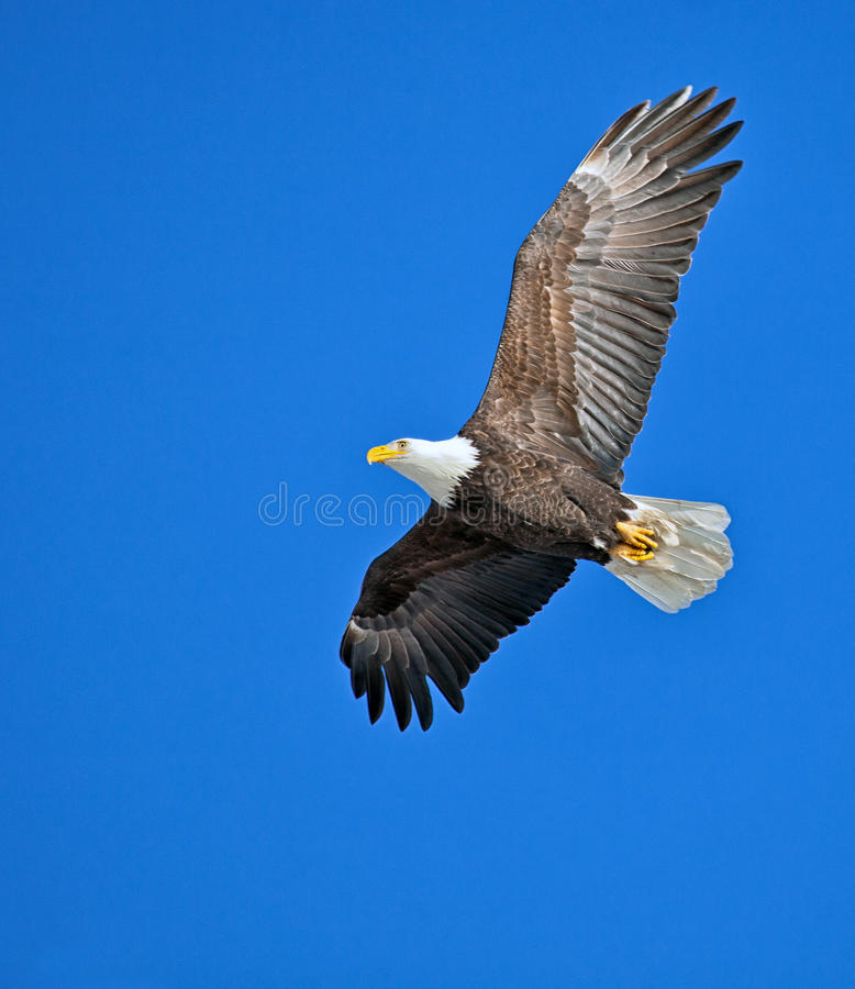 Download Bald eagle stock image. Image of bald, wildlife, eagle - 28614557