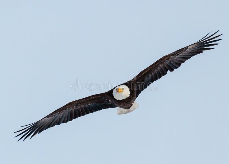 Download Bald Eagle stock photo. Image of critters, spread, colorado - 29033354