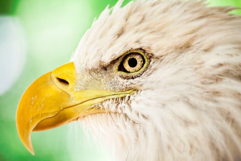 Download Bald Eagle Stock Image - Image: 29226681