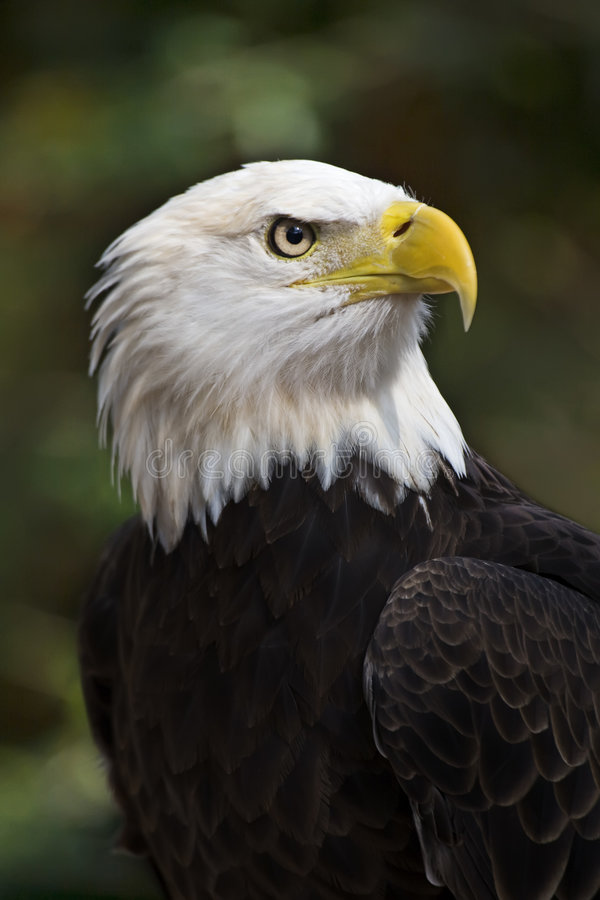 Bald Eagle. (Haliaeetus leucocephalus) the United States national bird
