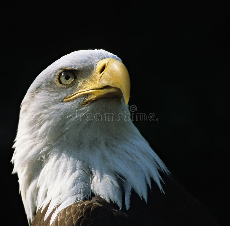 Download Bald Eagle stock image. Image of american, bald, prey, haliaeetus - 425107