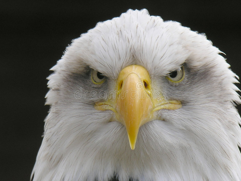 Download Bald Eagle stock image. Image of powerful, head, look, beast - 536899