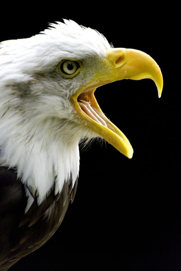 Download Bald eagle stock photo. Image of falcon, call, bird, bald - 5834692
