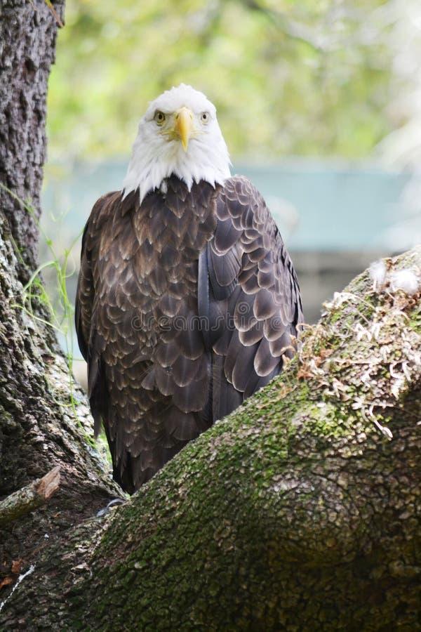 Free Bald Eagle Royalty Free Stock Image - 62530096