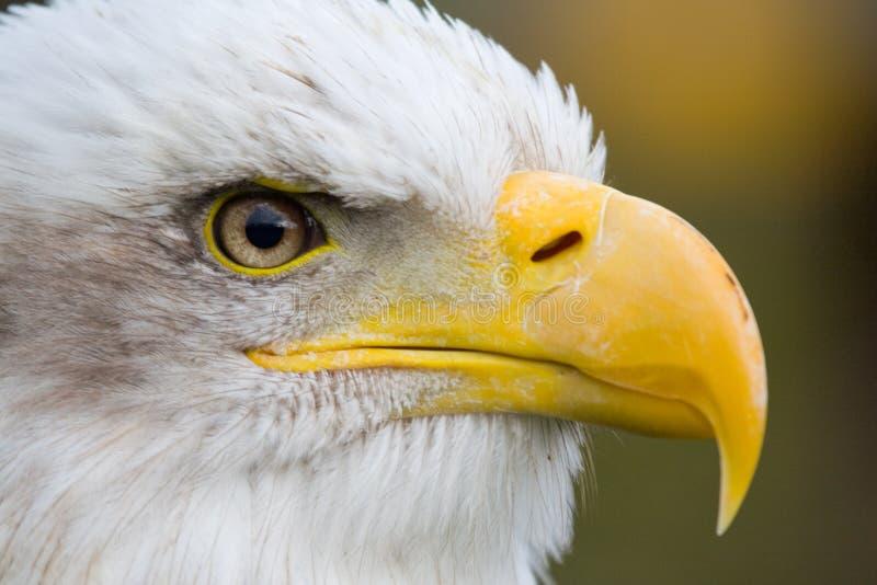 Download Bald Eagle stock image. Image of eagle, feathers, bald - 6644489