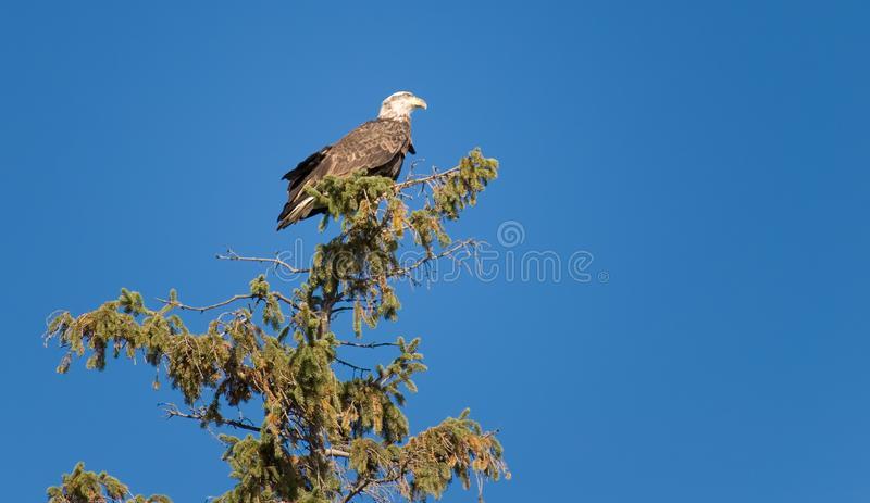 Download Bald Eagle stock photo. Image of feathers, wings, beak - 6807936