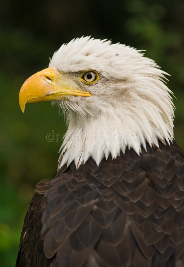 Bald eagle. National bird of USA, adult with white head royalty free stock photo