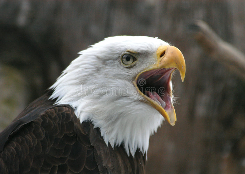 Download Bald Eagle stock photo. Image of patriot, leucocephalus - 796510