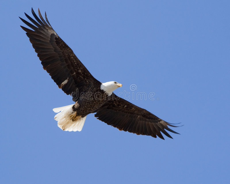 Bald Eagle. Adult bald eagle in flight