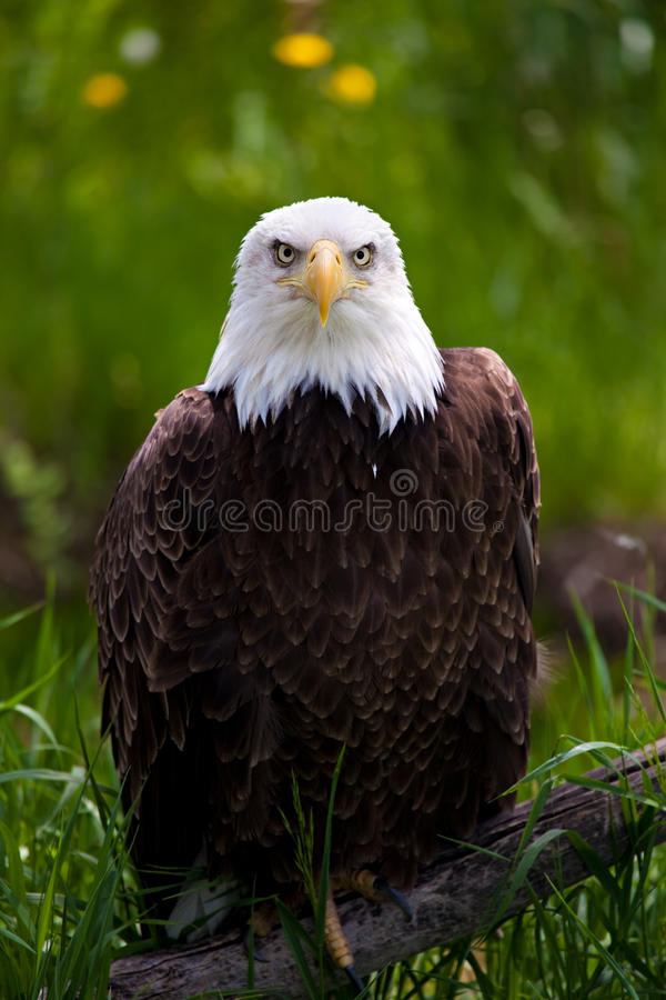 Bald eagle. Perched on branch close up