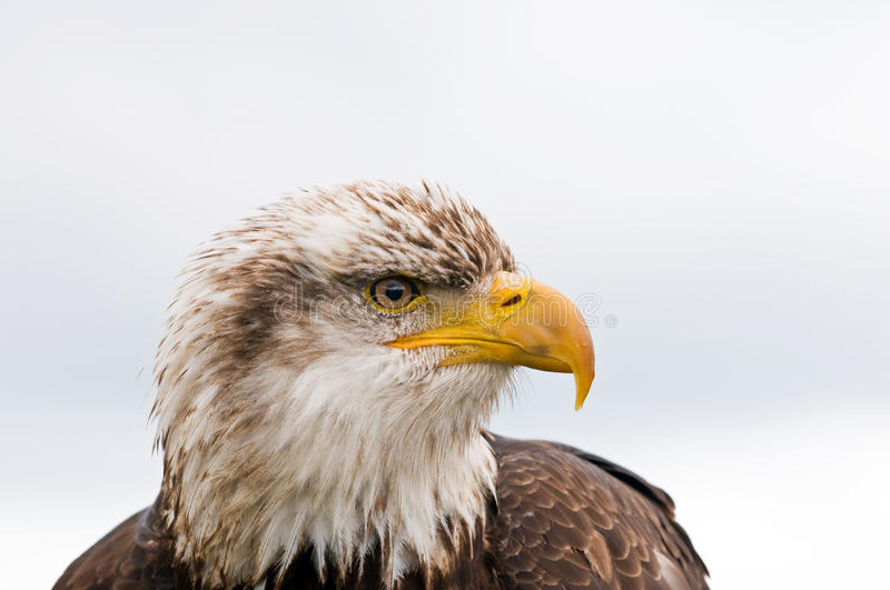 Download Bald eagle stock photo. Image of feathery, closeup, fiercely - 9903542