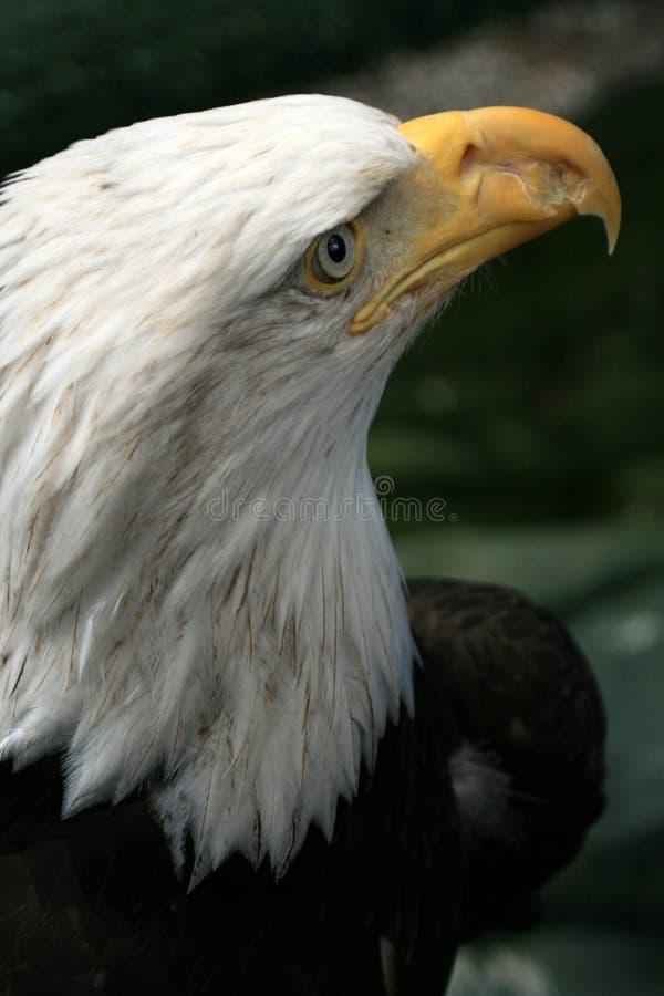 Download Bald Eagle, Alaska, USA stock image. Image of national - 11272797
