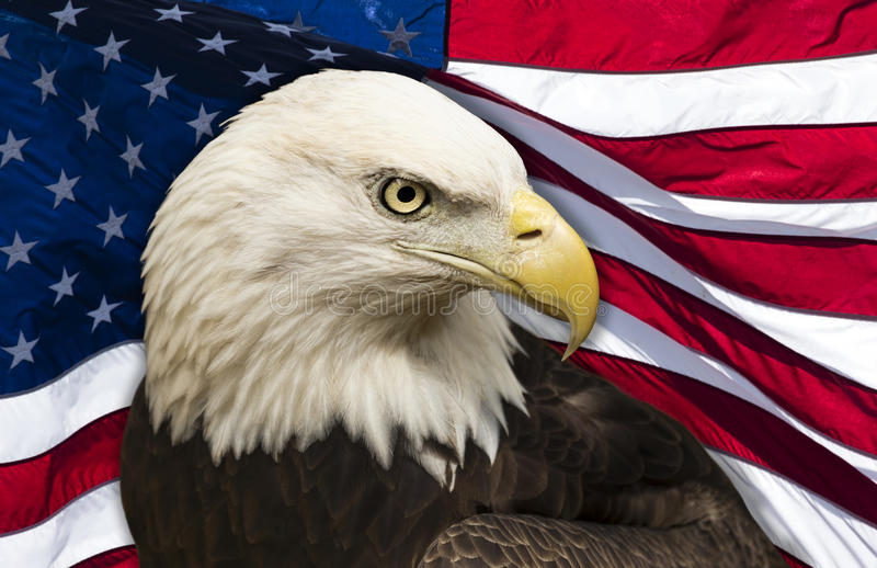 Bald Eagle and American Flag. Bald eagle against an American flag background royalty free stock image
