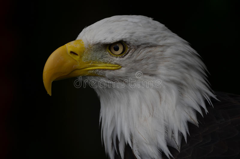 Bald Eagle. At Banham Zoo, Norfolk, UK stock photos